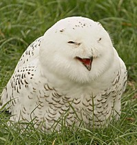 laughing_owls_30.jpg